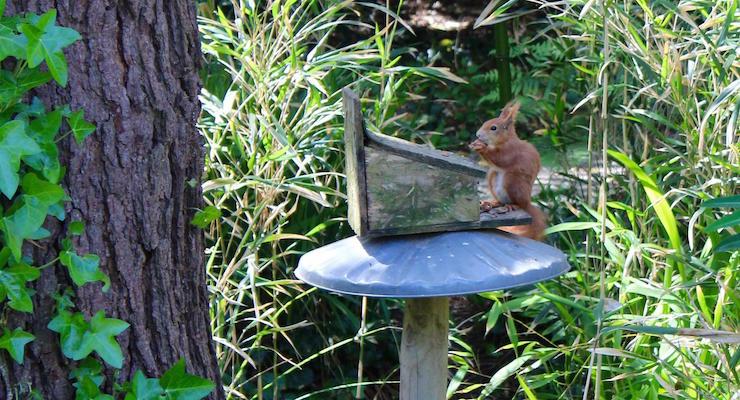 Red squirrel, Tresco Abbey Gardens, Isles of Scilly. Copyright Gretta Schifano