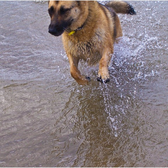 German Shepard, dog running at the beach, dog in water, German Shepard Running, Menai Straits
