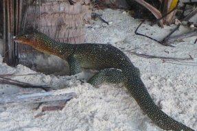 coconut lizards