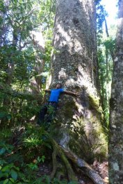 Kauri trees are gigantic! no really!