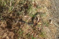 a black snake, i almost stepped on it, but ludo saved my life
