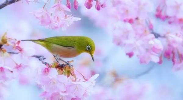 Flores de cerejeiras (Foto: Flickr/Ajpscs)