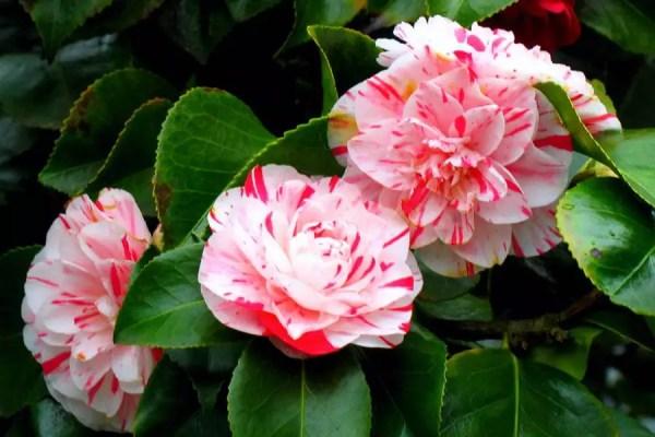 Camélia Japonesa   ©Wikimedia Commons