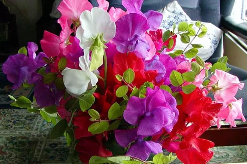 Flores de Ervilha Doce   Foto: Flower Info