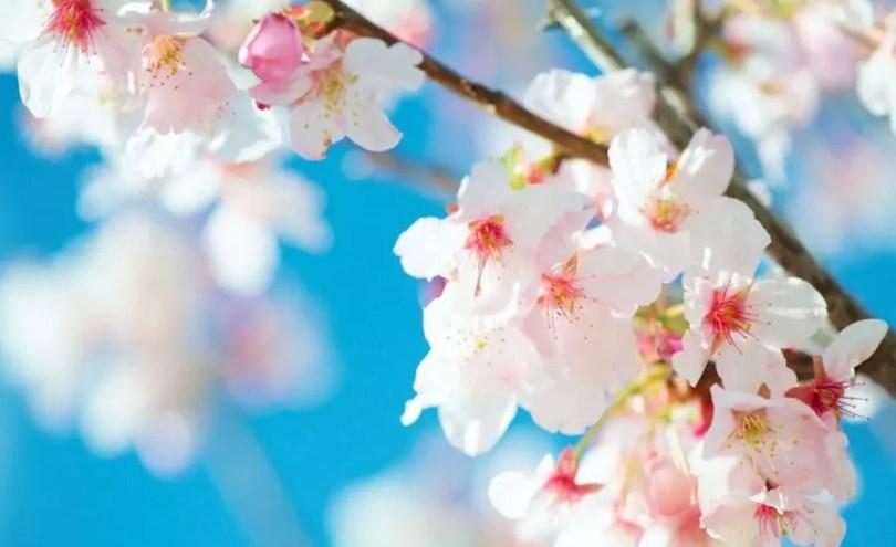 Flor de cerejeira | ©Cloudbi/Flickr