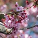 Mudanças climáticas causam floração antecipada de cerejeiras no Japão