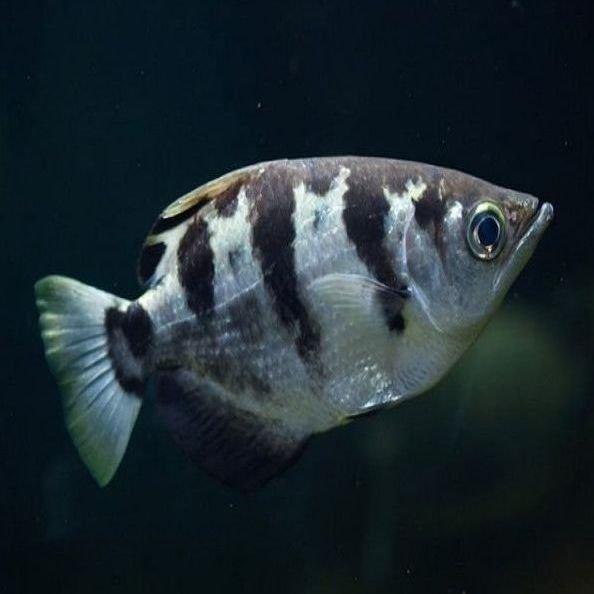 pez Arquero
