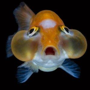 Pez ojos de burbuja mundo acuario for Variedad de peces