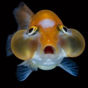 Pez ojos de burbuja mundo acuario for Peces goldfish tipos