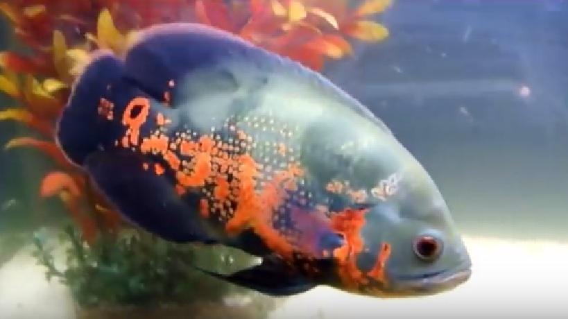 pez óscar