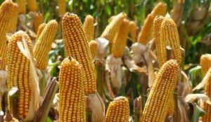 maiz-con-viptera-3