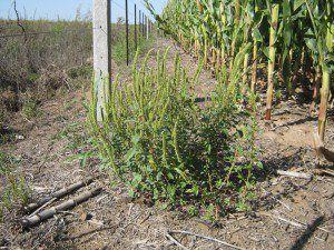 amaranthus-palmeri