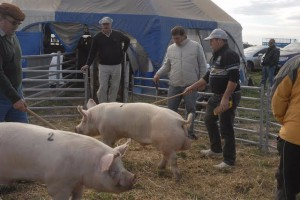 cerdo.agroactiva