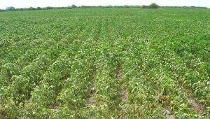 soja campo seco