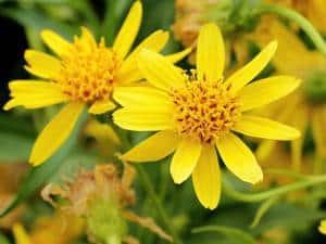 planta arnica