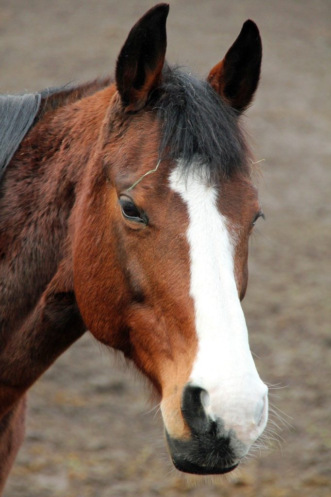 horse, ride, pony
