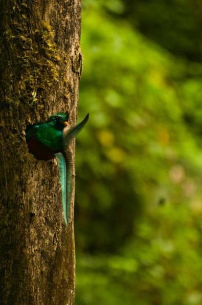 El Quetzal foto por Alan Lacayo Odraudes 2 - Galería - fotos del Quetzal, ave nacional de Guatemala