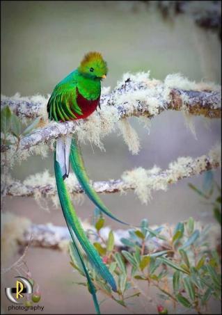 El Quetzal foto por Enmanuel Ramirez - El Quetzal en Guatemala - el pájaro de las plumas verdes