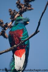Fotogrfía de Roberto Quezada - Galería - fotos del Quetzal, ave nacional de Guatemala