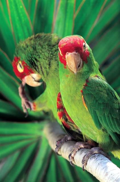 Los loros, poseen plumas de distintos colores, estos son de cabeza roja - foto por amiguer.com