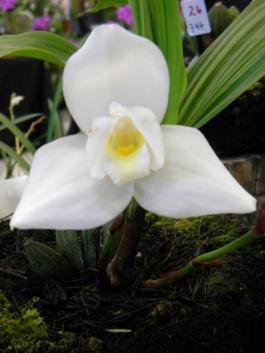 Monja Blanca foto por Otto Rinze - Galería - Fotos de Flores