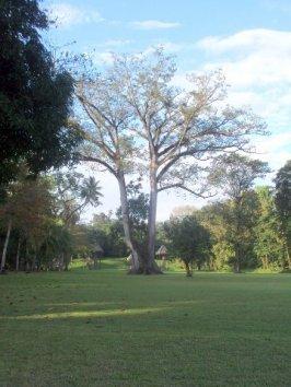 ceiba pentandra silvia sanchez quirigua - Símbolos Patrios de Guatemala