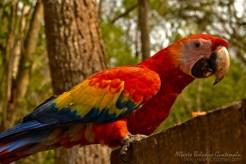 Guacamaya Roja, Peten - foto por Beto Bolaños