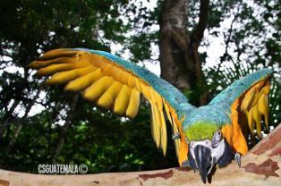 Guacamaya foto por Christian Soto - Galería - Fotos de Guacamayas