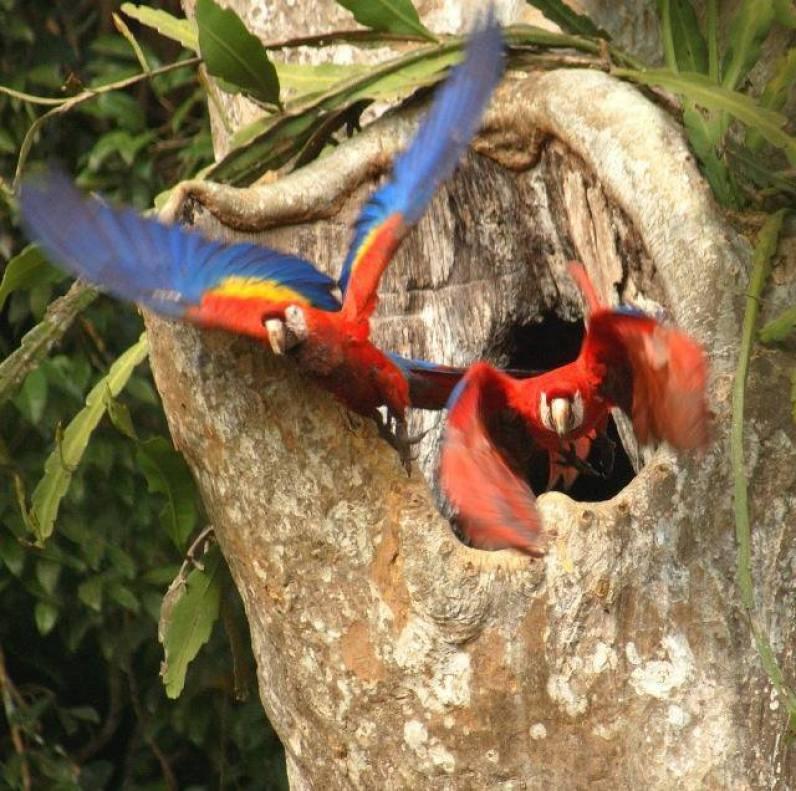Guacamayas emprendiendo vuelo desde su nido, en la Reserva de la Biosfera Maya - foto por Arturo Godoy