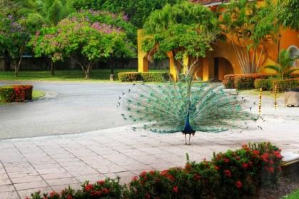 Pavo Real un atractivo del Hotel Amatique Bay en Puerto Barrios Izabal foto por Carlos Cordón e1369344773479 - Galeria - Fotos del Pavo Real