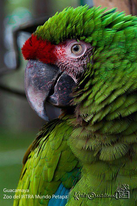 Guacamaya del Zoo Instituto de Recreación para los Trabajadores IRTRA Mundo Petapa foto por Karla Castellanos - Galeria - Fotos de Guatemala por Karla Castellanos