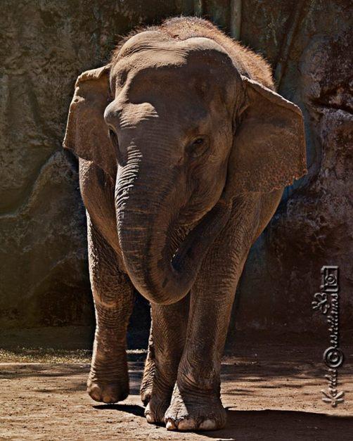 Trompitas, la elefantita en el zoológico La Aurora - foto por Karla Castellanos