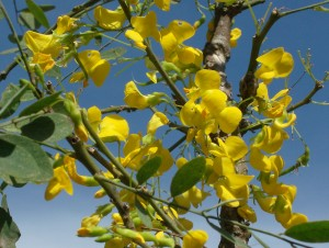 guachipilin 300x226 - Entre flora y aroma a Cuaresma