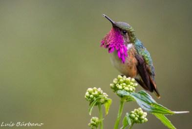 Colibrí wine throated foto por Luis Búrbano - La fauna de Guatemala