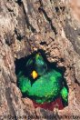 El Quetzal ave nacional 2 foto por Roberto Quesada - La fauna de Guatemala