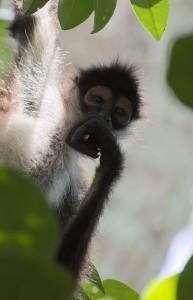 Mono Araña en Tikal Petén foto por Rony Rodriguez 193x300 - La fauna de Guatemala