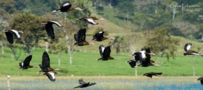 fauna ave Pijijes Dendrocygna autumnalis sobrevolando el lago Petén Itzá foto por Carlos Echeverria - La fauna de Guatemala
