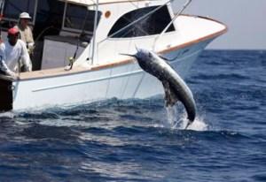 Pez vela 3 foto por visitguatermala 300x206 - El mejor manto de peces vela del mundo está en Guatemala
