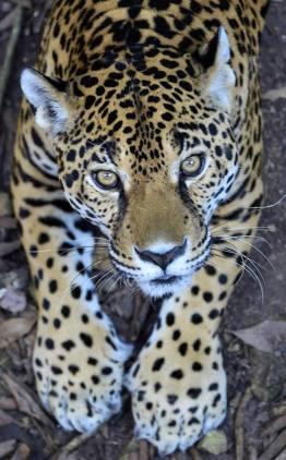 balam en peten por rony rodriguez de petenenfotos blogspot com - Galeria de Fotos de Guatemala por Rony Rodriguez