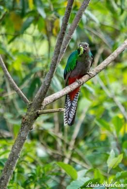 hembra de quetzal con gusano para sus pichones en san rafael pie de la cuesta san marcos guatemala foto por luis burbano - Galeria de Fotos de Guatemala por Luis Búrbano