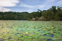 ninfas en rio dulce izabal foto por edgar monzon - Galeria de Fotos de Guatemala por Edgar Monzón
