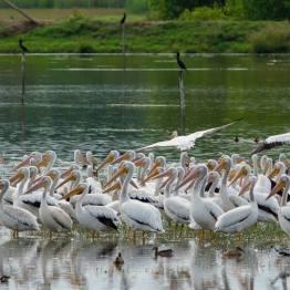 Pelicano blanco o American White Pelican, miles de ellos en Manchón Guamuchal, San Marcos - foto por Luis Búrbano