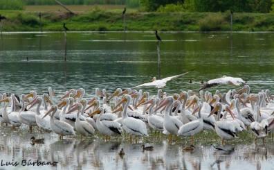 pelicano blanco o american white pelican miles de ellos en manchon guamuchal san marcos foto por luis burbano - Galeria de Fotos de Guatemala por Luis Búrbano