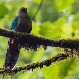 Quetzal resplandeciente hembra, Refugio del Quetzal, San Marcos - foto por Luis Búrbano