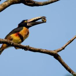 Tucancillo Collarejo o Collared aracarí en Los Tarrales Hotel, Natural Reserve & Birding Tours, Patulul, Suchitepequez - foto por Luis Búrbano