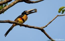 tucancillo collarejo o collared aracari en los tarrales hotel natural reserve birding tours patulul suchitepequez foto por luis burbano - Galeria de Fotos de Guatemala por Luis Búrbano