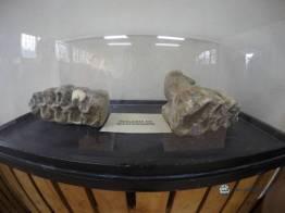 """Molares de mastodonte - Guía Turística - Sitio Paleontológico """"El Mamut"""""""