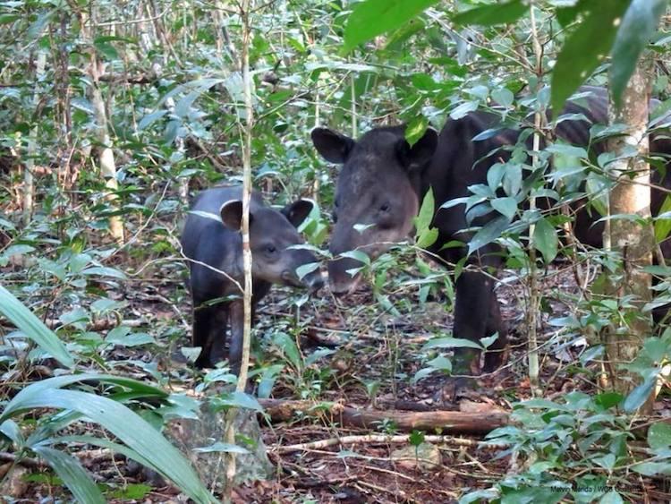 fauna danta con su cria tapirus bairdii en la reserva de la biosfera maya foto por melvin merida - 10 Lugares que conocer en Petén