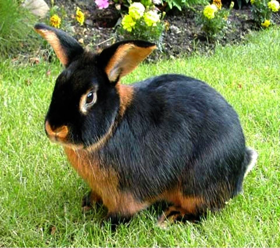 conejo Tan - conejo enano de raza Tan negro y marrón