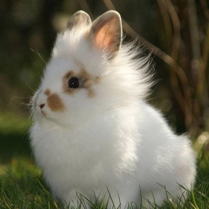 Conejo enano raza Lionhead o cabeza de león.